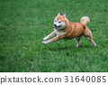 Japanease dog shiba inu running on the grass 31640085