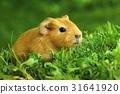 Cute baby guinea pig 31641920