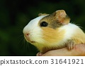 Guinea pig on hand 31641921