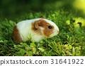 Baby guinea pig 31641922