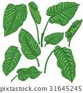 Green Dieffenbachia Leaves  Sketch 31645245