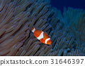 fish, fishes, tropical fish 31646397