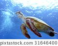 烏龜 海龜 海 31646400