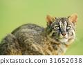貓 貓咪 野貓 31652638