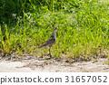 烏鴉 野生鳥類 野鳥 31657052