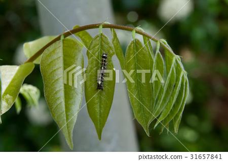 등나무 잎에있는 애벌레 31657841