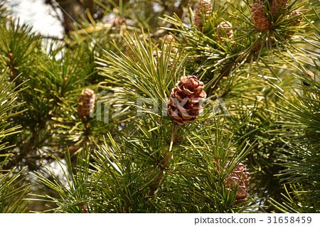 나무 : 유럽 해송 소나무과 31658459