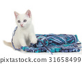 Cute domestic cat playing with wool ball 31658499