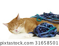 Cute domestic cat playing with wool ball 31658501