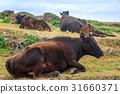 yonaguni, cow, cattle 31660371