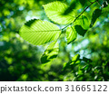 branch, background, leaves 31665122