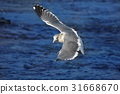 海鷗 乘飛機 飛行 31668670