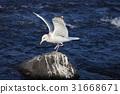 날갯짓, 바다, 바위 31668671