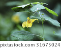 거미, 노랑물봉선화, 야생화 31675024