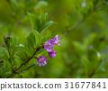 weigela hortensis, alpine plant, deutzia crenata 31677841