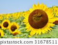 向日葵 马见丘陵公园 花朵 31678511