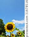向日葵 花园 夏天 31678516