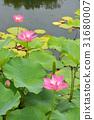 莲花 出水莲 花朵 31680007