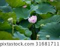蓮花 蓮子 花朵 31681711