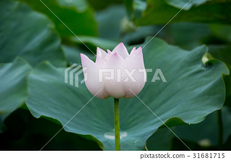 台灣台南白河蓮花Asia Taiwan Lotus 31681715