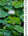蓮花 花朵 花 31681760