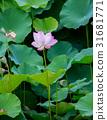 蓮花 花朵 花 31681771