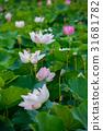 蓮花 花朵 花 31681782