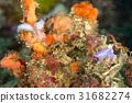 海参 海中珍宝鱼 海底的 31682274