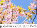 Pink Cherry Blossom on blue sky 31683576