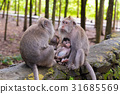 Macaque monkeys with cubs at Monkey Forest, Bali 31685569