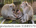 Macaque monkeys with cubs at Monkey Forest, Bali 31685570