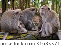 Macaque monkeys with cubs at Monkey Forest, Bali 31685571