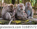 Macaque monkeys with cubs at Monkey Forest, Bali 31685572
