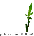 Dracaena sanderiana - Lucky Bamboo 31688849