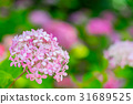 hydrangea, bloom, blossom 31689525