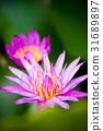 pink lotus flower 31689897