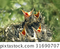 Baby birds in the nature 31690707