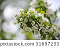 Blossom of apple trees. 31697233