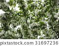 Blossom of apple trees. 31697236