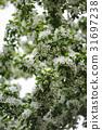 Blossom of apple trees. 31697238