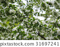 Blossom of apple trees. 31697241