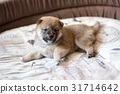 Cute Shiba Inu puppy dog 31714642