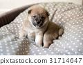 Cream shiba inu puppy in basket 31714647