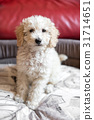 Cute shaggy little cream toy poodle puppy 31714651
