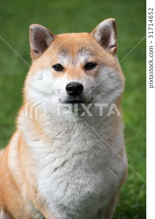Portrait of Shiba Inu dog 31714652