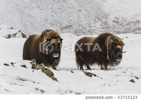 Two Muskox National Park Dovrefjell 31715123