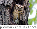 Collared scops owl Cute Birds Sleeping 31717726