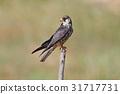 Amur falcon Falco amurensis Birds of Thailand 31717731