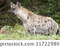 Spotted Hyena watching something 31722980