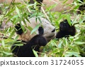 Giant panda eating bamboo 31724055